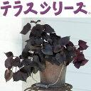 草花の苗/イポメア:テラスブロンズ3号ポット