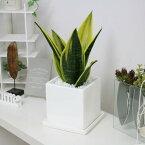希少種 サンスベリア ゴールドフレーム陶器鉢仕立 サンセベリア トラノオ 観葉植物 珍しい 希少種 多肉植物 送料無料 美しい斑 【写真のような厳選品をお届け】