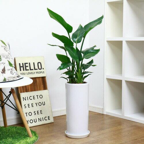 人気の3株仕立ストレリチア オーガスタ陶器鉢仕立 受皿付 観葉植物 スタイリッシュ 育てやすい ※写真の様な厳選品をお届け