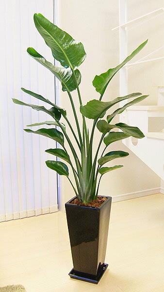 ストレリチア オーガスタ(観葉植物タイプ)