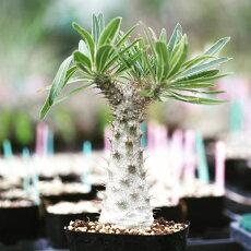パキポディウムロスラツム(国内実生、多肉、珍奇植物、珍奇、レア、塊根塊茎、コーデックス、サボテン、南アフリカ)