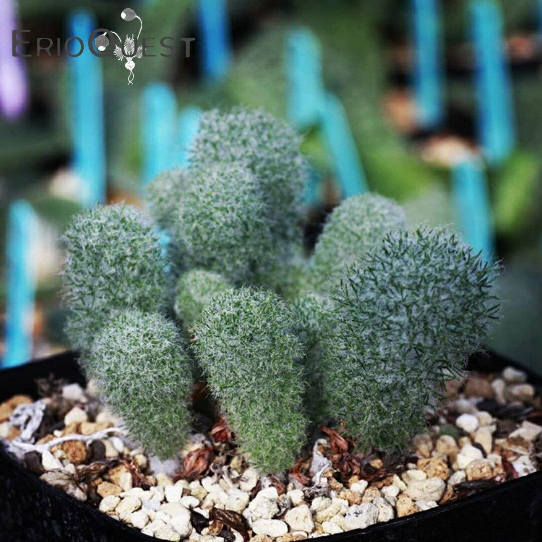 花・観葉植物, 観葉植物  Type-KH EQ283 Eriospermum paradoxum
