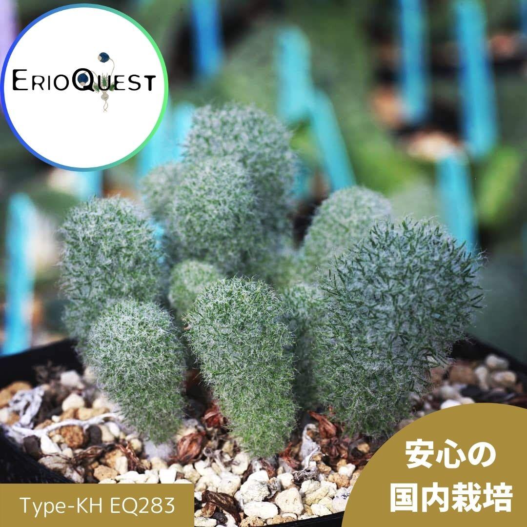 花・観葉植物, 観葉植物  Eriospermum paradoxum Type-KH EQ283