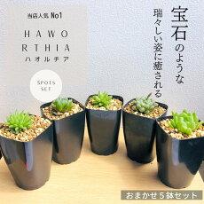 多肉植物寄せ植えハオルチアセット5種類観葉植物インテリアHaworthia
