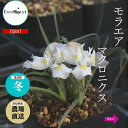 珍奇植物 ビザールプランツ モラエア マクロニクス Moraea macronyx EQ847