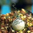 オーニソガラム オオアマナ トルツオスム Ornithogalum Tortuosum DMC13646 南アフリカ 球根 珍奇植物