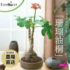 サンゴアブラギリ珊瑚油桐ヤトロファポダグリカJatrophapodagricaKK5593