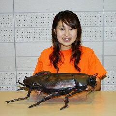 メガゴキブリ 65cm