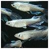 【メダカ】ヒレ長幹之めだか幼魚5匹無選別※注意:北海道、沖縄、離島への発送は別途必要です。画像のめだかは今年生まれの成魚になりますので、お送りする個体ではありません。(淡水魚観賞魚メダカめだか改良メダカ稚魚幼魚成魚産卵繁殖)