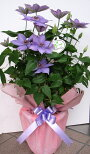 【MothersDay】みんなに好かれる人気のお花♪紫クレマチスの花鉢