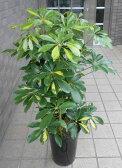 小型観葉植物 ホンコンカポック