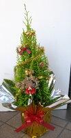 クリスマスツリー ゴールドクレスト【五号鉢】