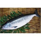 【ふるさと納税】『希少・天然』時しらず鮭3kg前後特大【12015】