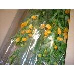 北海道名寄市JA道北なよろサンダーソニア「氷点花」