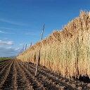 【ふるさと納税】【2019年産新米】限定栽培『はさがけ』北海道産ゆめぴりか10kg
