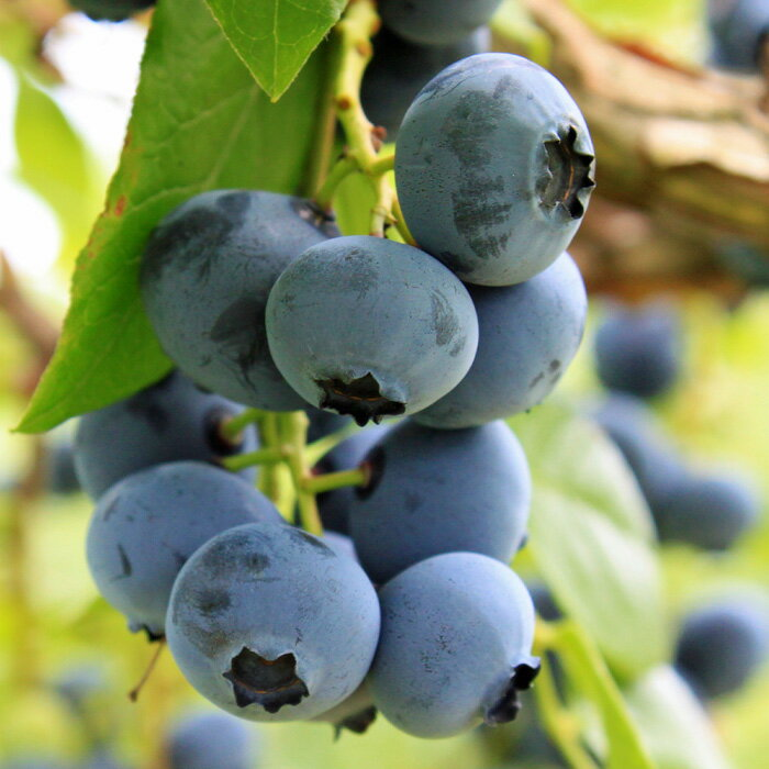 【ふるさと納税】三谷果樹園 ブルーベリー(冷凍)1kg 果物 フルーツ 北海道砂川市