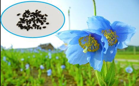 【ふるさと納税】青いケシの種(メコノプシス)1袋
