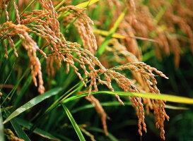 今井農場あっぱれもち米20kg(玄米)