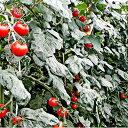 【ふるさと納税】<2021年6月初旬よりお届け>北海道壮瞥町 大作農園 カラフルミニトマト狩り 30分×5回分チケット 【野菜・ミニトマト・野菜・トマト・体験チケット】 お届け:2021年6月上旬〜8月10日頃まで