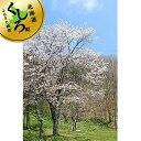 【ふるさと納税】北海道釧路町の桜の木(1本)のオーナー権及びオーナー証【 北海道 釧路町 】