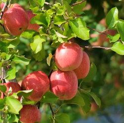 【ふるさと納税】※選べる 配送時期※【訳あり】 りんご 約10kg 青森産 品種おまかせ2種以上 画像2