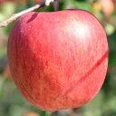 【ふるさと納税】先行受付[りんご]「シナノスイート」14〜18玉 約5kg 【2021年10月下旬〜11月中旬にかけて申込順に発送します】青森りんご 三戸産 林檎 フルーツ 果物 農家直送 産地直送・・・