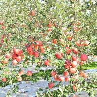 【ふるさと納税】先行受付[りんご]「シナノスイート」14〜18玉 約5kg 【2021年10月下旬〜11月中旬にかけて申込順に発送します】青森りんご 三戸産 林檎 フルーツ 果物 農家直送 産地直送・・・ 画像2