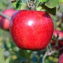 【ふるさと納税】先行受付[りんご]「サンふじ」14〜20玉
