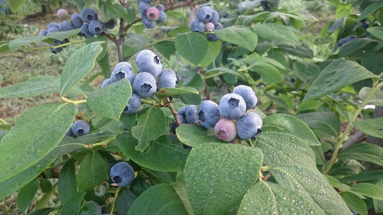 フルーツ・果物, ブルーベリー M1-2611kg