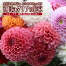 【ふるさと納税】たっぷりの酒田のダリアの花束