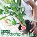 【ふるさと納税】観葉植物 「テーブルプランツ」 1鉢