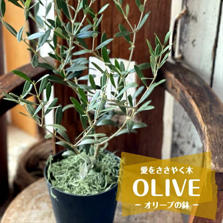 愛の木 「オリーブの鉢」 約高さ70cm×幅30cm メンテナンスカード付