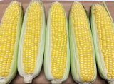 【ふるさと納税】農家直送 とうもろこし 「おおもの」 5kg (10~13本) 朝採直送 大房 & 甘い