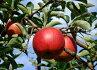【ふるさと納税】りんご「ふじ」12〜16玉5kg