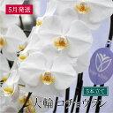 【ふるさと納税】大輪コチョウラン5本立て 2020年5月発送...