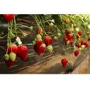 【ふるさと納税】イチゴ農園から完熟で宝石のような輝きの「とちおとめ」のいちご狩り体験《2月受付…