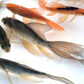 【ふるさと納税】DE-2魚取沼産系鉄魚約15cm3匹