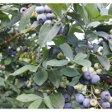 【ふるさと納税】横田さん家の大玉完熟ブルーベリー 4パック