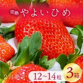 【ふるさと納税】【2021年2月発送】甘〜い!いちごやよいひめ12粒〜14粒入り3箱