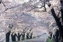 【ふるさと納税】クラウドファンディング 新たな桜並木に名前を刻もう!〈新早乙女桜並木への銘板設置...