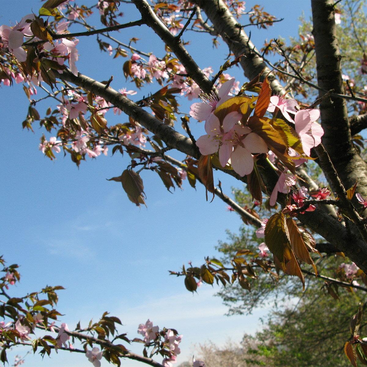 【ふるさと納税】桜の名所・長瀞で「わたしの桜」桜の里親になってみませんか?:埼玉県長瀞町