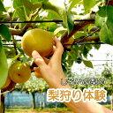 【ふるさと納税】【旬の梨狩り】しろいの梨のもぎ取り体験 幸水 豊水 新高《期間限定》1グループ5名様まで 梨の収穫5個まで