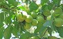 【ふるさと納税】田上産 青梅「越の梅」 【果物類・フルーツ】...