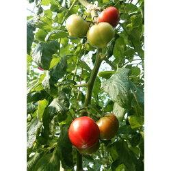 【ふるさと納税】フルーツトマト(深層水トマト)6kg(約3kg×2回) 画像1