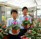 シクラメンの鉢花