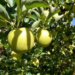 穴水産葉とらんりんご