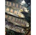 【ふるさと納税】山梨県産 桂川の冷凍やまめ・ニジマスセット 計1.7kg(約16〜18尾)