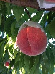 【ふるさと納税】 桃 山梨県産 約1.8kg 約6〜8玉入り 産地直送 フルーツ 画像1