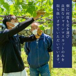 【ふるさと納税】笛吹市産シャインマスカット 約1.3kg 2〜3房山梨 シャインマスカット(クラウドファンディング対象) 画像2