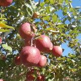 【ふるさと納税】911-005 JA信州うえだ合戦りんご「サンふじ」10kg